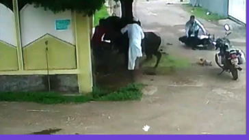 Kid survived after getting attacked by cow.